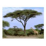 Africa, Botswana, Okavango Delta. Southern Post Cards