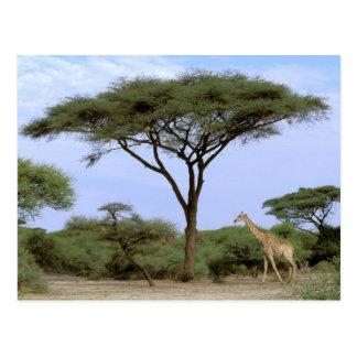 Africa, Botswana, Okavango Delta. Southern Postcard