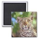 Africa, Botswana, Okvango Delta, wild leopard. 2 Inch Square Magnet