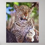Africa, Botswana, Okvango Delta, wild leopard. 2 Print