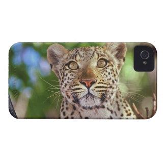 Africa, Botswana, Okvango Delta, wild leopard. iPhone 4 Case