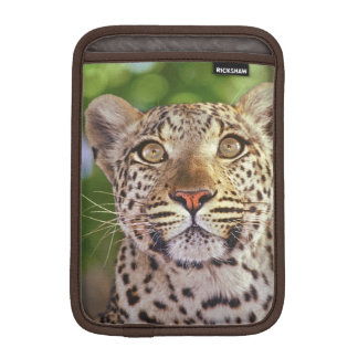 Africa, Botswana, Okvango Delta, wild leopard. iPad Mini Sleeve