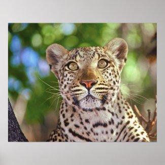 Africa, Botswana, Okvango Delta, wild leopard. Print
