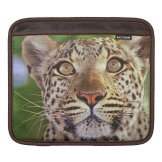 Africa, Botswana, Okvango Delta, wild leopard. Sleeve For iPads