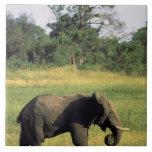 África, Botswana, parque nacional de Chobe. Elefan Azulejo Cuadrado Grande