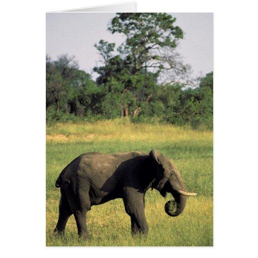 África, Botswana, parque nacional de Chobe. Elefan Tarjeta De Felicitación