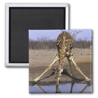 África, Botswana, parque nacional de Chobe, jirafa Imán Cuadrado