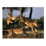 África, Botswana, parque nacional de Chobe, leonas Tarjeta Postal