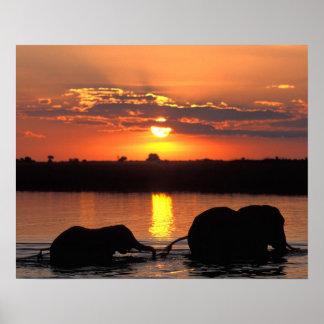 África, Botswana, parque nacional de Chobe, manada Póster