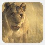 África, Botswana, reserva del juego de Moremi, leo Calcomanía Cuadradas Personalizadas