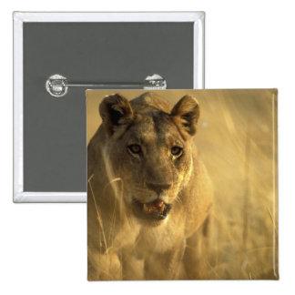 África, Botswana, reserva del juego de Moremi, leo Pin Cuadrado