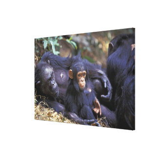 Africa, East Africa, Tanzania, Gombe NP Female Canvas Prints