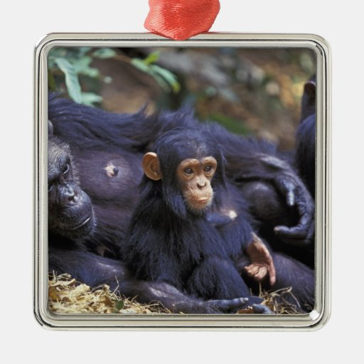 Africa, East Africa, Tanzania, Gombe NP Female Christmas Ornaments