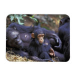 Africa, East Africa, Tanzania, Gombe NP Female Rectangle Magnets