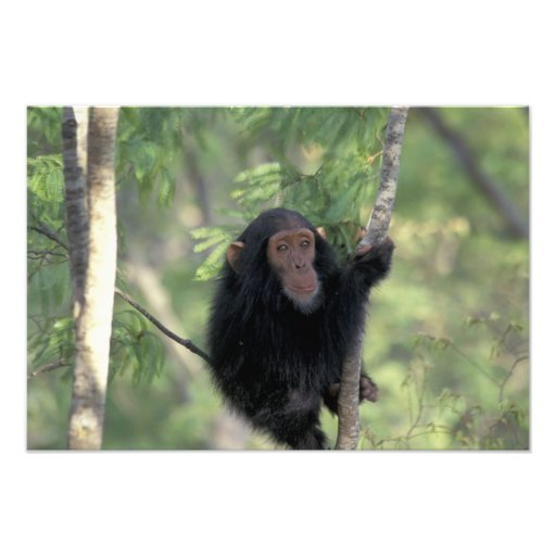 Africa, East Africa, Tanzania, Gombe NP Infant Photo Print