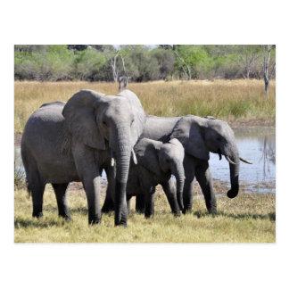 Africa Elephant Herds Postcard