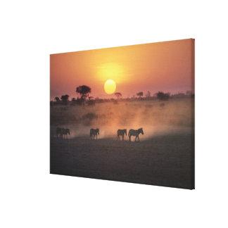 África, Kenia, Amboseli NP. Paseo de la cebra a Impresión En Lienzo Estirada