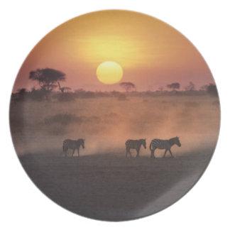 África, Kenia, Amboseli NP. Paseo de la cebra a Plato De Cena