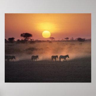 África, Kenia, Amboseli NP. Paseo de la cebra a Póster