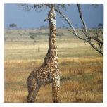 África, Kenia, Amboseli NP. Un campo común, o Masa Teja