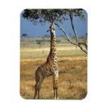 África, Kenia, Amboseli NP. Un campo común, o Masa Imanes Flexibles