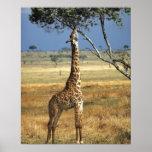 África, Kenia, Amboseli NP. Un campo común, o Masa Posters