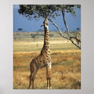 África, Kenia, Amboseli NP. Un campo común, o Masa Póster