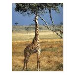 África, Kenia, Amboseli NP. Un campo común, o Masa Tarjetas Postales