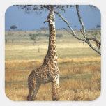 África, Kenia, Amboseli NP. Un campo común, o Pegatina Cuadradas Personalizadas