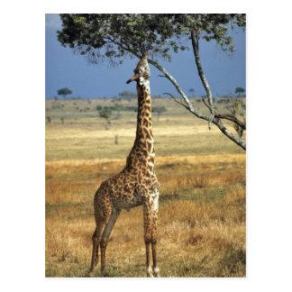 África, Kenia, Amboseli NP. Un campo común, o Postal