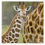 África. Kenia. Bebé de la jirafa de Rothschild con Azulejo Cuadrado Grande