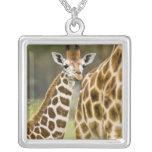 África. Kenia. Bebé de la jirafa de Rothschild con Colgante Cuadrado