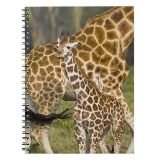 África. Kenia. Bebé de la jirafa de Rothschild con Cuadernos