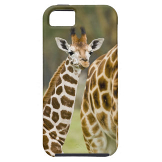 África. Kenia. Bebé de la jirafa de Rothschild con iPhone 5 Fundas