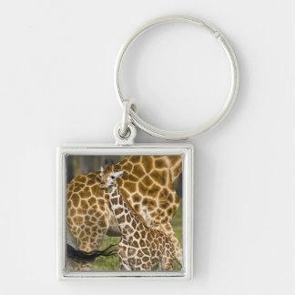 África. Kenia. Bebé de la jirafa de Rothschild con Llavero Personalizado