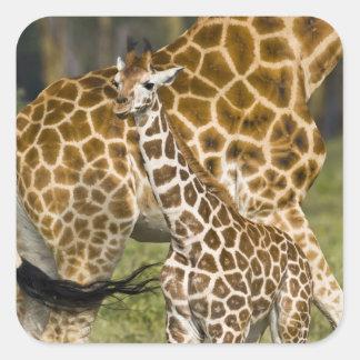 África. Kenia. Bebé de la jirafa de Rothschild con Pegatina Cuadrada