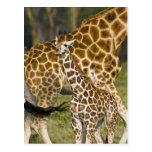 África. Kenia. Bebé de la jirafa de Rothschild con Tarjeta Postal