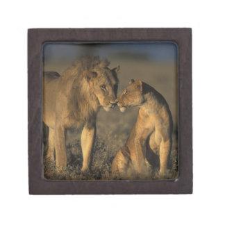África, Kenia, búfalo salta reserva nacional, Caja De Regalo De Calidad
