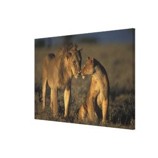 África, Kenia, búfalo salta reserva nacional, Lienzo Envuelto Para Galerias