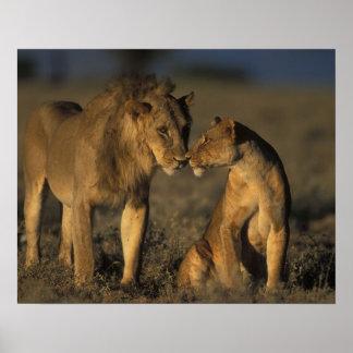 África, Kenia, búfalo salta reserva nacional, Poster