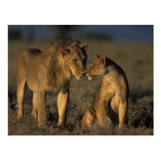 África, Kenia, búfalo salta reserva nacional, Postal