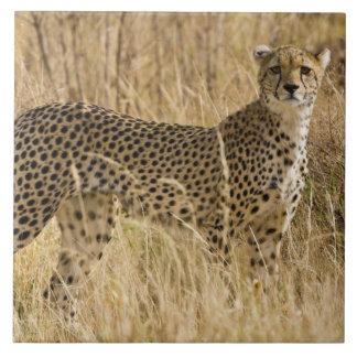África. Kenia. Guepardo en Samburu NP. 2 Azulejo Cuadrado Grande