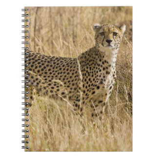 África. Kenia. Guepardo en Samburu NP. 2 Libreta