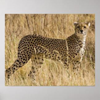 África. Kenia. Guepardo en Samburu NP. 2 Póster