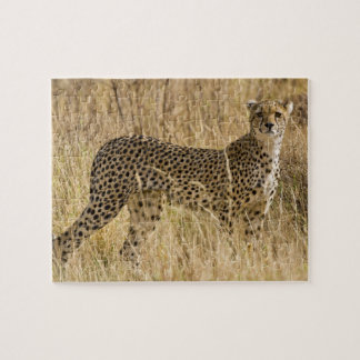 África. Kenia. Guepardo en Samburu NP. 2 Rompecabezas Con Fotos