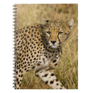 África. Kenia. Guepardo en Samburu NP. 3 Spiral Notebooks