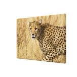 África. Kenia. Guepardo en Samburu NP Impresión De Lienzo