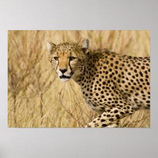 África. Kenia. Guepardo en Samburu NP Posters