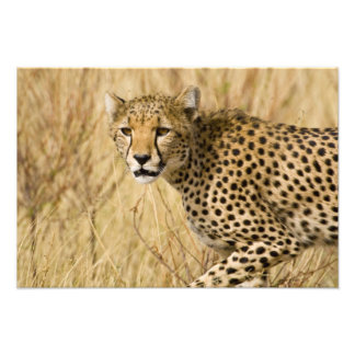 África. Kenia. Guepardo en Samburu NP Fotografias