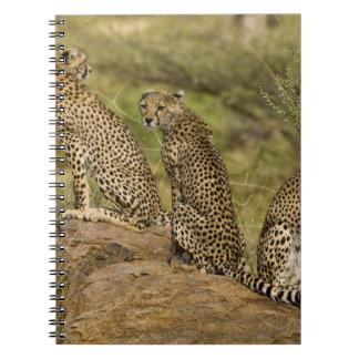 África. Kenia. Guepardos en Samburu NP. 2 Note Book